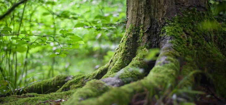 Orörd natur – effektivare än bioenergi